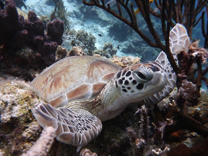 Mannelijke schildpadden dreigen te verdwijnen