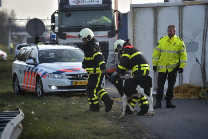 Ontsnapte kalveren op de A16 worden gevangen door brandweer en politie.