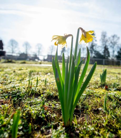 Vroege bloei narcis zegt niets over klimaatverandering