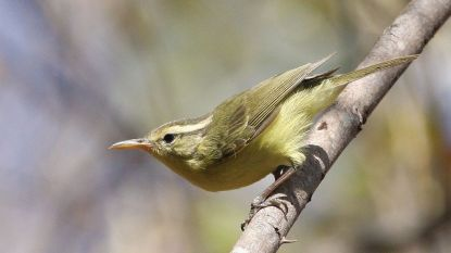 Belg ontdekt nieuwe vogelsoort in Indonesië