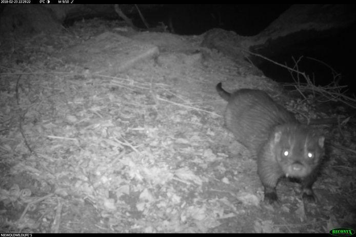 Otter op beelden van een nachtcamera in Doesburg.