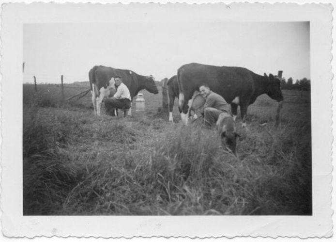 David van der Reis (rechts) helpt op zijn onderduikadres in Alverna bij het melken van de koeien.