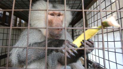 Baviaan wacht in hondenasiel op nieuwe thuis