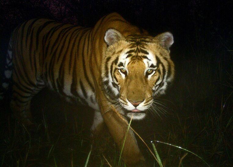Een Bengaalse tijger in Bardiya National Park in Zuid-Nepal. Beeld afp