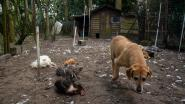 Twee meter hoge draad rondom hele tuin en een waakhond, maar toch krijgt vos elf kippen te pakken
