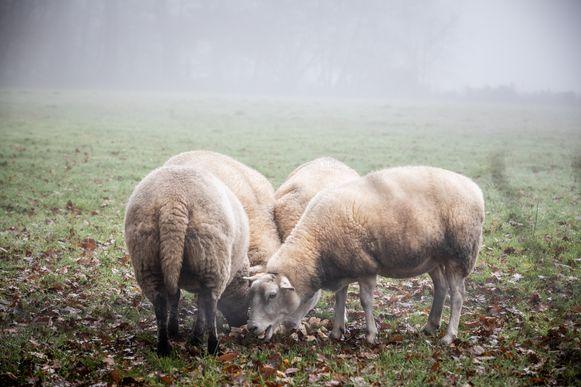 Zes schapen werden doodgebeten aangetroffen.