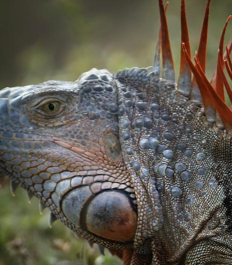Florida gaat leguanen te lijf: Jagers slaan schedels in
