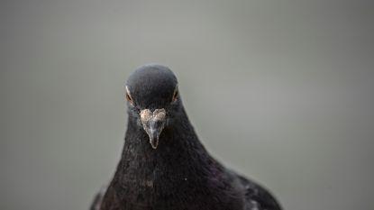 """Indiase veiligheidsdienst neemt duif gevangen """"op verdenking van spionage"""""""