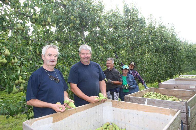 Marc en Jan Reynaerts zijn bezig aan de laatste fruitpluk.