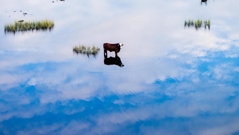 Hoe prettig sommige koeien ook leven, de productie van vlees voor consumptie blijft schadelijk voor het klimaat. Beeld getty