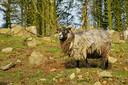 Een zeldzaam zeewieretend schaap op het Schotse eiland North Ronaldsay.