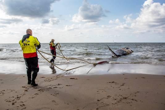 Met behulp van touwen werd het dier uit de zee getrokken.
