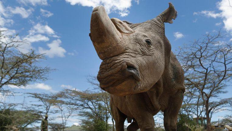 dood van witte neushoorn sudan brengt diersoort op drempel van