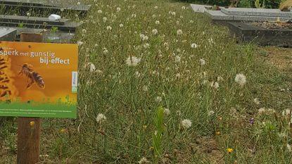 """Kritiek op bij-vriendelijke zones op begraafplaats Oosteeklo: """"Vooral slecht groenonderhoud verhullen"""""""