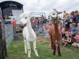 Verliefde alpaca's geven elkaar het ja-woord