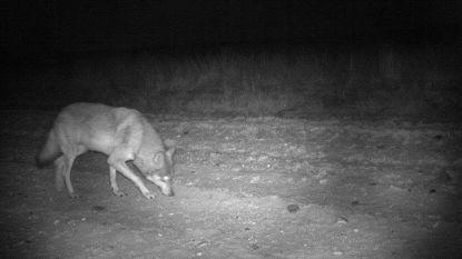 """""""En plots is Naya niet meer beschermd"""": biologen vrezen dat wolvin zich niet kan voortplanten door beslissing Raad van State"""