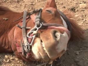 Ce cheval simule sa mort à chaque fois qu'un humain tente de le monter