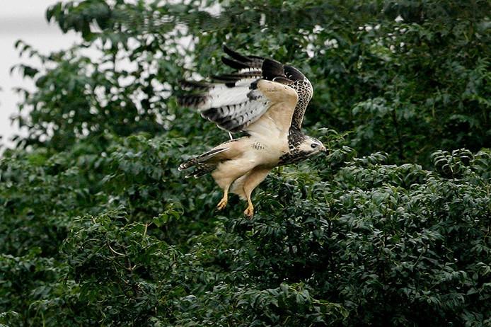 ,Niet in de buurt komen van roofvogels!', is de belangrijkste tip van de gemeente Dalfsen om aanvallen van buizerds te voorkomen.