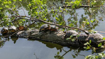 Sabotage voor vangactie exotische waterschildpadden: onbekende laat dieren telkens weer vrij