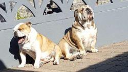 Twee Engelse bulldogs vergiftigd in eigen tuin en gedumpt in visvijver