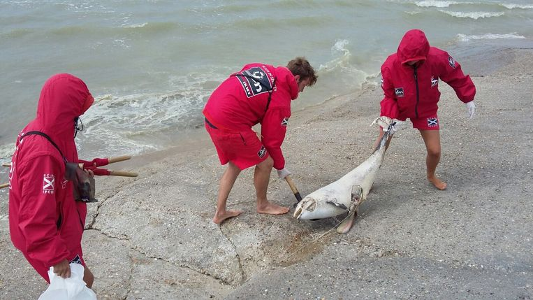 Een aangespoelde bruinvis op het strand van De Panne, archiefbeeld ter illustratie.