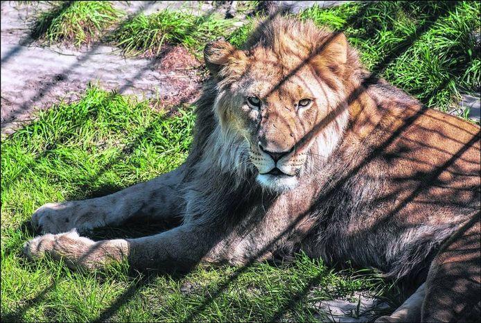 Een leeuw in ZooParc Overloon. Foto: Theo Peeters