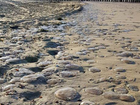 Duizenden kwallen op Vlissingse strand: 'Ze zijn erg vroeg dit jaar'