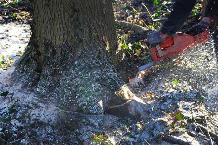 De gemeente Middelburg gaat voor elke gekapte boom twee nieuwe bomen planten.