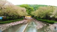 Nu Wuhan opnieuw ontwaakt: ook kersenbloesems staan in bloei