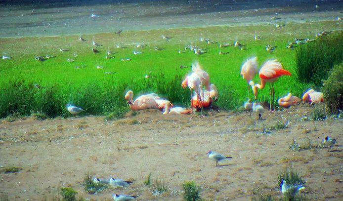 Op deze beelden van de wildcamera op het flamingo-eiland in het Zwillbrocker Venn zijn twee van de vier flamingokuikens te zien. Ruim twee weken geleden waren ze plots spoorloos.