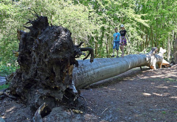 Omgewaaide bomen die geen gevaar vormen, blijven liggen voor planten en dieren. Ook dienen sommige bomen spontaan als speeltoestel.  Lenn (7) en Tessa (10) Simons uit Clinge vermaken zich in het bos.
