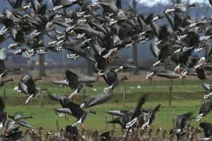 Opvliegende kolganzen in de Ooijpolder, een populair verblijfs en overwinteringsgebied van de gans. foto Ruben Smit