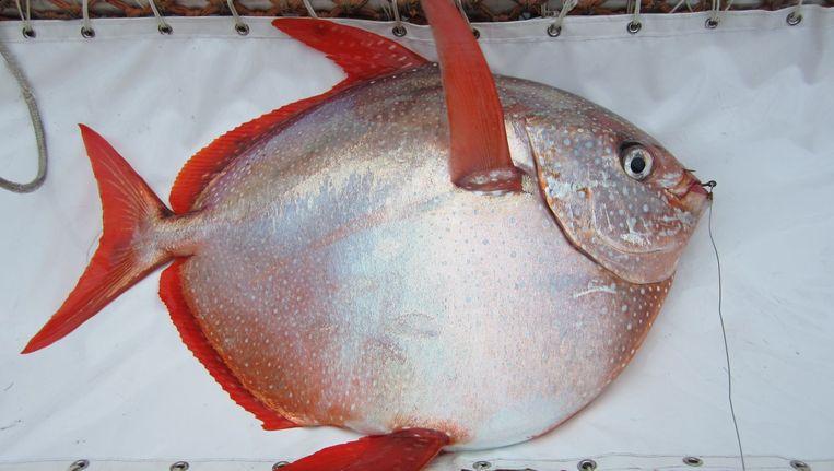 Een Koningsvis. Beeld NOAA Fisheries West Coast