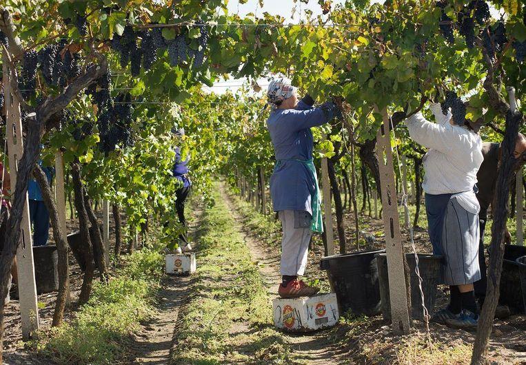 vooral arme vrouwen en migranten worden in Zuid-Italië ingezet in de druivenpluk. Ze werken tot 13 uur per dag in de hitte voor een hongerloon van 2 euro per uur.
