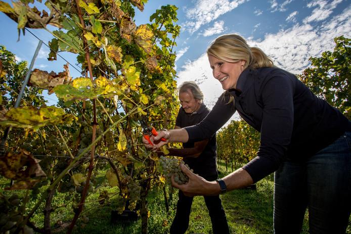 Diana van der Biezen en Gert Jan Voortman van Wijngoed Gelders Laren zijn bezig aan de laatste plukronde voor de productie van edelzoete wijn.