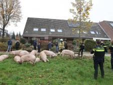 Nieuwsoverzicht | Wijken op slot door vuurwerkoverlast - Vrachtauto met varkens gekanteld