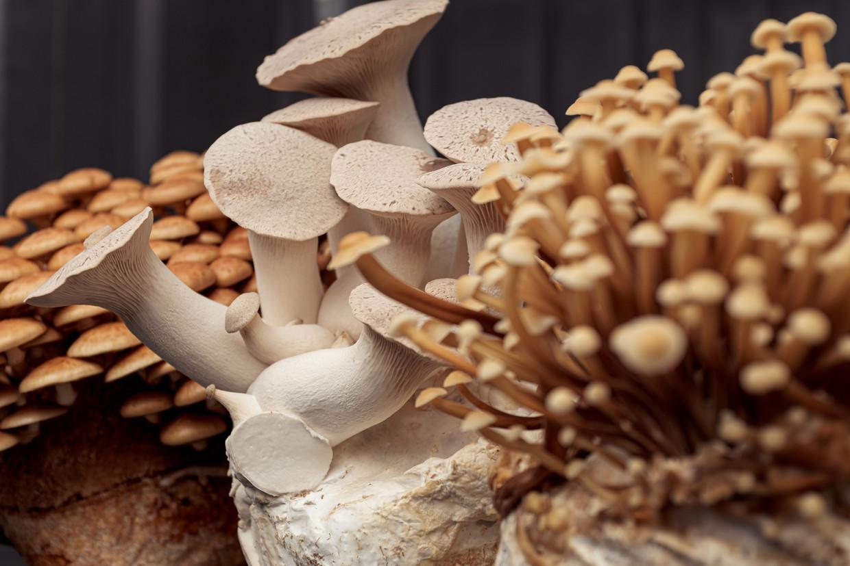 """Jim Bisschop: """"We willen ook inspelen op de behoefte aan vleesvervangers, want paddenstoelen bevatten veel eiwitten."""" Beeld Jakob Van Vliet"""