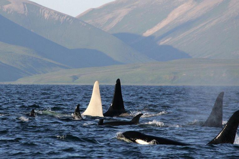 IJsberg, de zeldzame albino-orka, met twaalf soortgenoten bij Bering Eiland op een foto die gisteren door Russische wetenschappers is vrijgegeven. Beeld afp