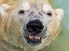 's Werelds eerste 'tropische' ijsbeer (27) uit zijn lijden verlost