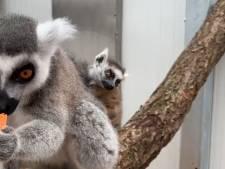 Mysterie in Blijdorp: kleintje in vrouwtjesgroep bij de maki's
