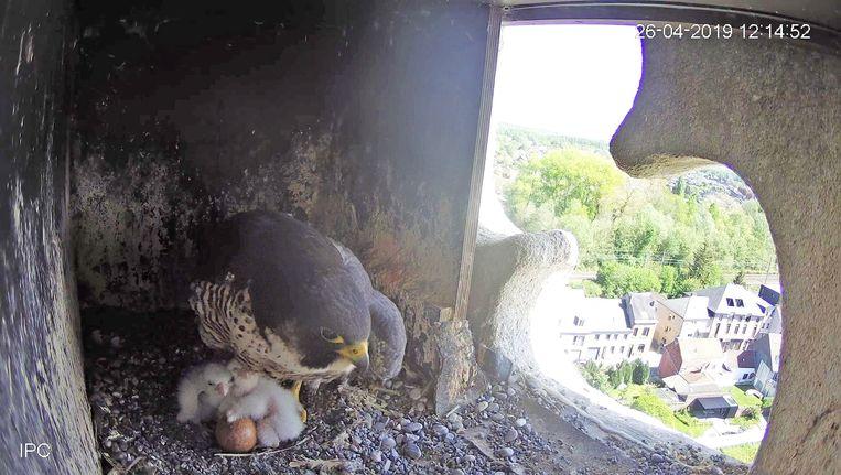 De pasgeboren slechtvalkjes blijven nog veilig onder de vleugels van hun ouders.