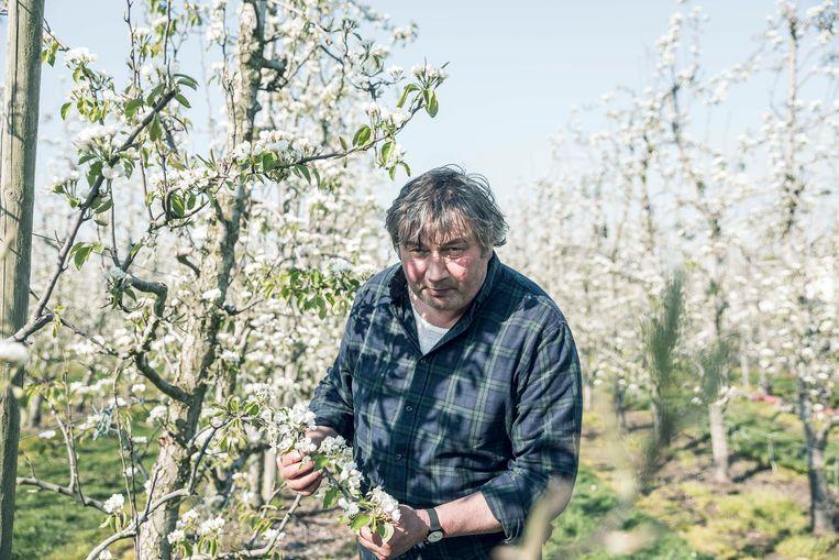 Teler Piet Porrey tussen zijn perenbloesems.