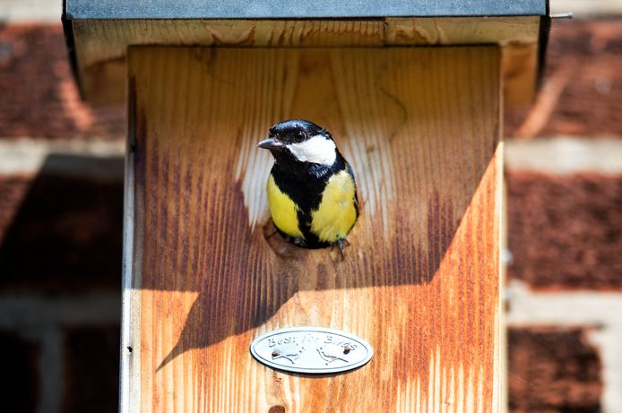 Rijssen-Holten wil meer nestkastjes voor koolmezen ophangen. Het vogeltje voedt zich onder meer met de eikenprocessierups.