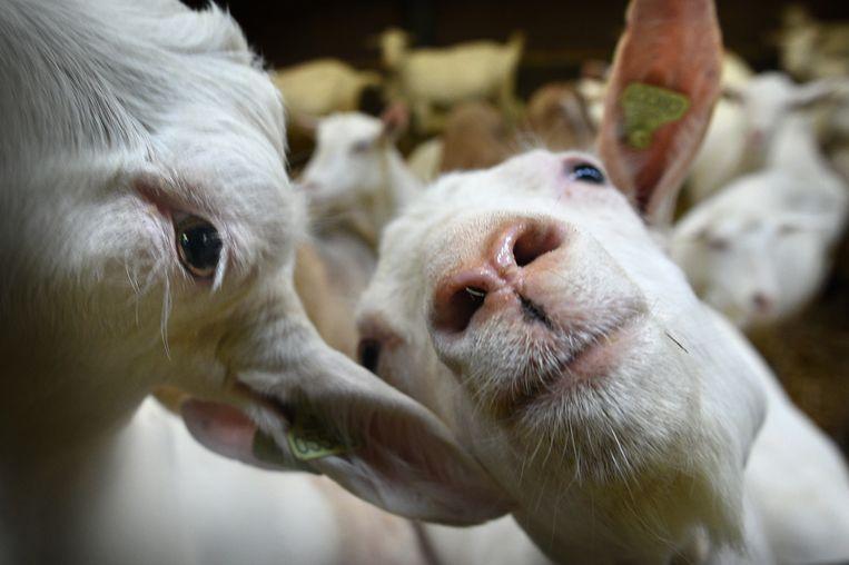 De geiten van Alexander van der Schans in Hurwenen. Beeld null