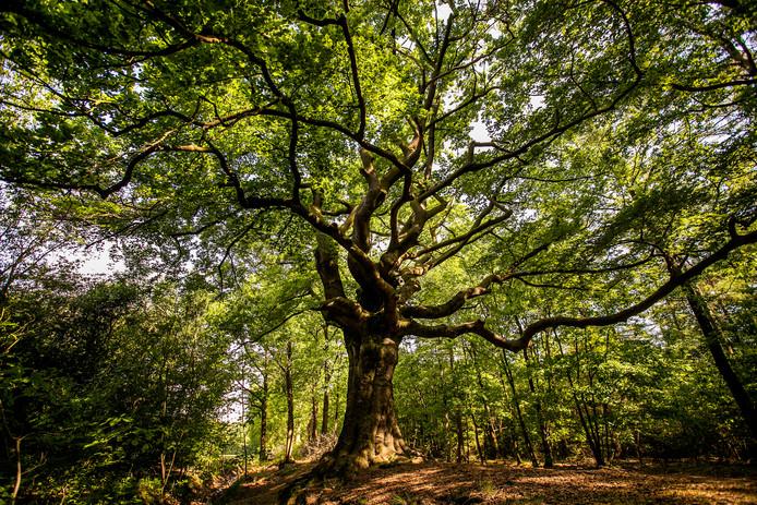 De Heksenboom in Bladel.