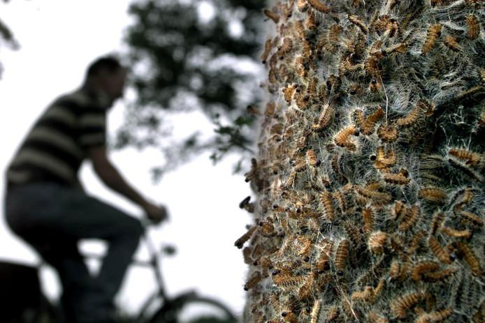 Duizenden eikenprocessierupsen op een boom langs een fietspad. Als het aan de Sallandse wethouders ligt is dat over enkele jaren verleden tijd.