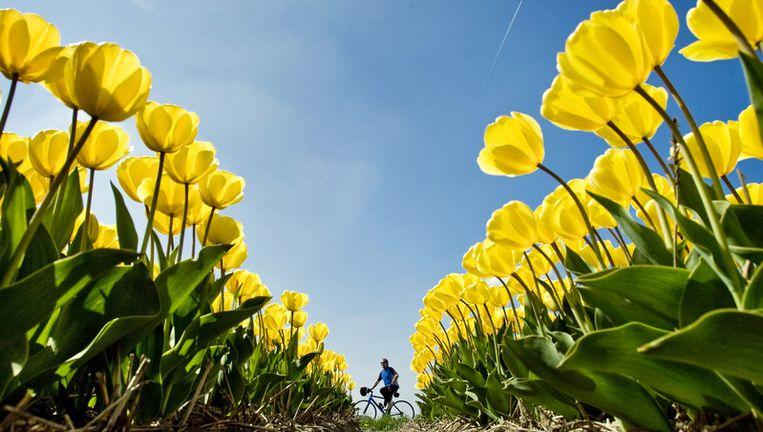 Gele tulpen werden in grote getale aangeboden. Foto ANP Beeld
