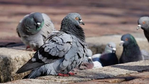 Les pigeons font partie des espèces qui se développent en présence des hommes