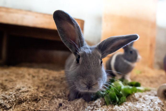 Een van de konijnen in Konijnenherberg in Moergestel.