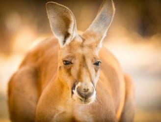 """Studie: """"Kangoeroes kunnen met mensen communiceren"""""""